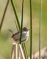 Marsh Wren, Cistothorus palustris, perches on reeds in Sonoma County, California