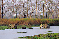 Asian elephant or Indian elephants (Elephas maximus)--cow and calf herd, Kaziranga National Park, India.