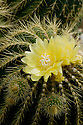 Pale yellow flowers of Parodia warasii cactus, end June.