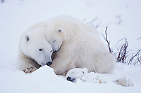 Polar Bear (Ursus maritimus), mother with cubs after snow storm with one sick cub, Churchill, Manitoba, Canada