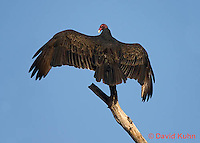 1107-0808  Turkey Vulture, Resting on Branch Spreading it's Wings, Cathartes aura © David Kuhn/Dwight Kuhn Photography