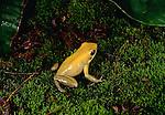 Bicolor poison arrow frog, South America