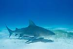 Tiger Beach, Grand Bahama Island, Bahamas; a bull shark swimming over sea grass growing from the shallow sandy bottom