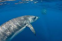 Bryde's whale, Balaenoptera brydei or Balaenoptera edeni, approaches a baitball of sardines, Sardinops sagax, to feed, off Baja California, Mexico ( Eastern Pacific Ocean )