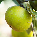 Apple 'Duke of Devonshire', late September. An English dessert apple bred in 1835 by the hed gardener to the Duke of Devenshire at Holker Hall in Cumbria. Commercially introduced in 1875 and a popular apple in Edwardian times. Still grown in private gardens.