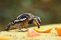 Yellow-bellied Sapsucker (Sphyrapicus varius), adult feeding on oranges, South Padre Island, Texas, USA