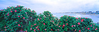 Colorful sea roses, Rosa Rugosa, frame the shore at Wallis Sands State Beach, Rye, New Hampshire. Photograph by Peter E. Randall.