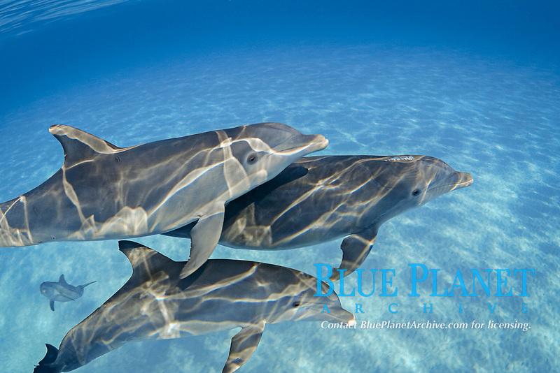 These Atlantic Bottlenose Dolphin, Tursiops truncatus, were photographed on the Bahamas Bank, Caribbean, Atlantic