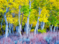 Fall colored aspens and sagebrush. Eastern Sierra Nevada mountains, California