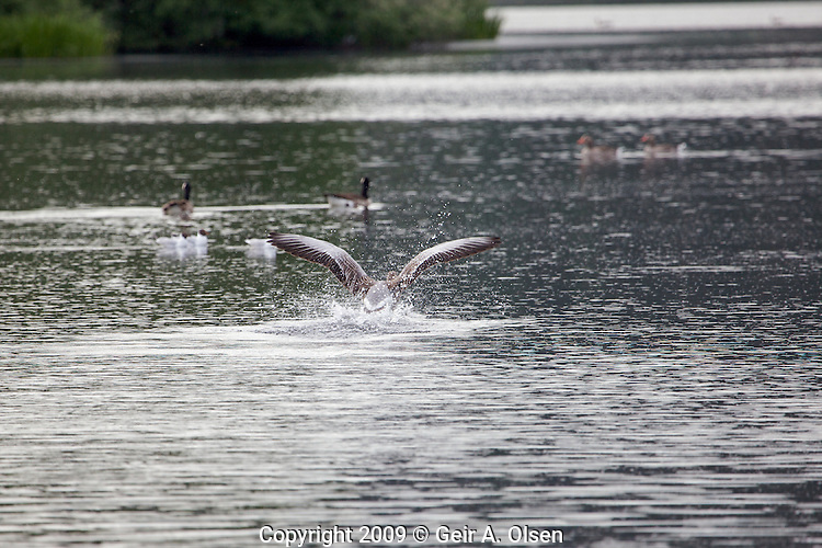 Fugleliv pa? Østensjøvann i Oslo