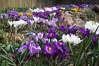 Crocus flower bed