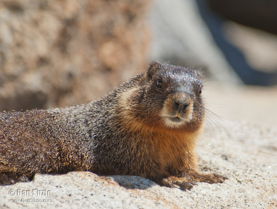 Yellow-bellied marmot, Marmota flaviventris, basking near the entrance to its burrow. Near Silver Lake, Sierra Nevada, California