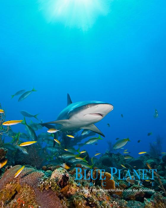 Caribbean reef shark, Carcharhinus perezii, and yellowtail snappers, Ocyurus chrysurus, West End, Bahamas, Atlantic Ocean