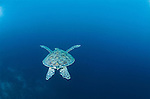 This green sea turtle is a favorite because of its simplicity. It passed me while snorkeling in cool waters off the Galapagos Islands and disappeared into the deep blue depths.