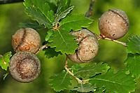 Große Kronengalle, Kronengallwespe, Kronen-Gallwespe, Andricus quercustozae, Andricus quercus tozae, Cynips quercus-tozae, Cynips quercustozae