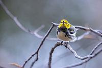 Black-throated Green Warbler (Setophaga virens), male in breeding plumage foraging on its breeding territory near the peak of Slide Mountain, Shandaken, Ulster County, New York.