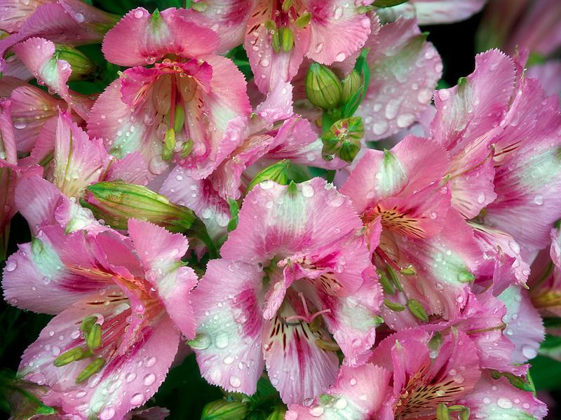 Close up of Alstroemeria. Alstroemeria 'Theresa'