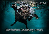REALISTIC ANIMALS, REALISTISCHE TIERE, ANIMALES REALISTICOS, dogs, paintings+++++SethC_DUCHESSv1,USLGSC28,#A#, EVERYDAY ,underwater dogs,photos,fotos ,Seth