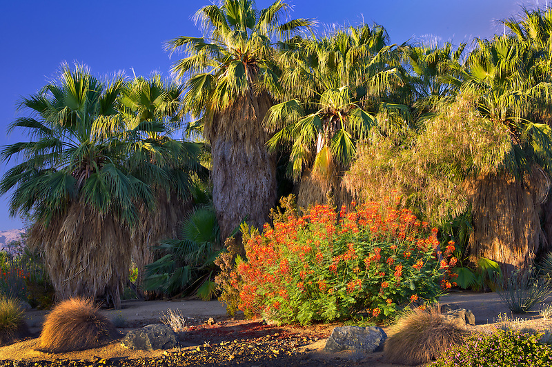 Palm trees and Dwarf Poinciana, Red Bird of Paradise bush. Desert Willow Golf Resort, Palm Desert, California