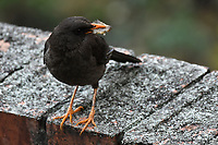 BOGOTÁ - COLOMBIA, 12-04-2017: Mirla (turdus fuscater) Especie de ave muy común en Bogotá, Colombia / Mirla (turdus fuscater) Bird specie very common in Bogota, Colombia. Photo: VizzorImage/ Gabriel Aponte / Staff