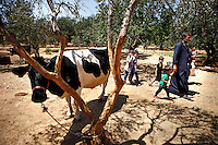 SYRIEN, 07.2014, Koreen (Provinz Idlib). Leben ohne Zentralregierung: Bauer Fuad besitzt einge Kuehe, Schafe und Huehner. Es ist ein hartes Leben, aber kann mit der Landwirtschaft seine Familie ernaehren. | Life without a central government: Farmer Fuad has a lifestock of seven cows and a few sheep and chicken. It has been a hard, but he can make a living for his family by farming.<br /> © Timo Vogt/EST&OST