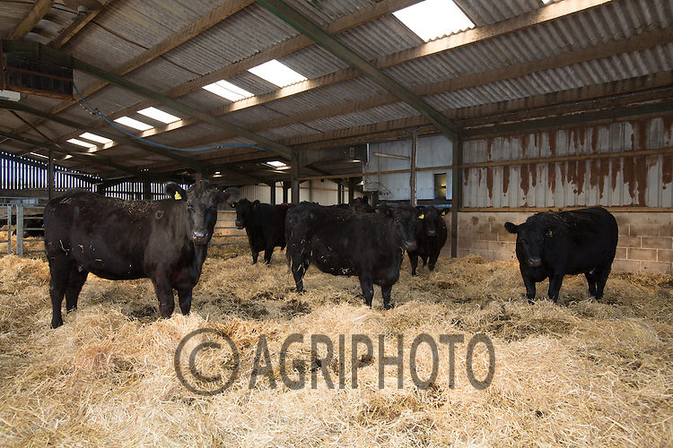 Pedigree Aberdeen Angus Cows in straw yards.Picture Tim Scrivener 07850 303986.tim@agriphoto.com.?.covering agriculture in the UK?.