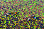 Pictured: Workers pick water chestnuts, a popular vegetable in Bangladesh.