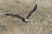 Rough-legged Hawk flying low over a field