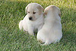 Yellow Labrador retriever (AKC) puppies facing opposite directions