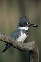 Belted Kingfisher, Megaceryle alcyon,male with fish prey, Willacy County, Rio Grande Valley, Texas, USA