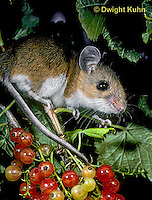 MU50-032z   White-Footed Mouse - eating berries -  Peromyscus leucopus