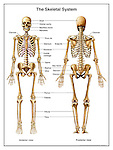 Anatomy of the Human Skeletal System (Skeleton). Full body anterior and posterior views with labels for bones: skull, orbital cavity, maxillary bone, mandible, clavicle, sternum, scapula, humerus, costal cartilage, radius, ulna, sacrum, coccyx, femur, patella, tibia, and fibula.