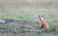 A fox den in Montana boasted as many as 14 fox kits.  We were fortunate to see at least half of them.