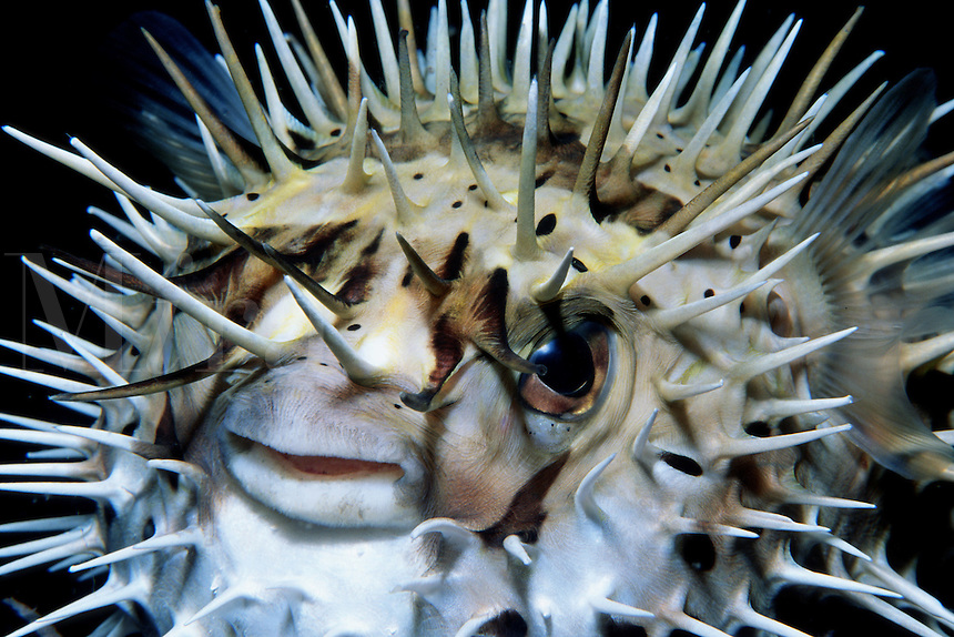 Porcupinefish, Diodon hystrix, is found in the tropical Eastern Pacific . They ward off predators by inflating their bodies and erecting sharp spines , Sea of Cortez, Mexico
