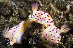 Lembeh Strait, Indonesia; three small, purple and yellow Marie's mexichromis nudibranchs in a mating circle on the black muck bottom