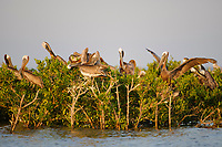 Adult Brown Pelicans (Pelecanus occidentalis) roosting on mangroves in a Barataria Bay nesting colony. Plaquemines Parish, Louisiana. July.