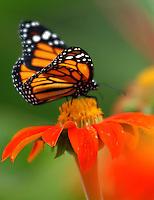 CALI-COLOMBIA-21-06-2003. La mariposa Monarca (Danaus Plexippus) es una especie de lepidóptero ditricio de la familia Nymphalidae es quizá la mariposa más conocida de Norteamerica. The Monarch butterfly (Danaus plexippus) is a species of Lepidoptera Nymphalidae family ditricio is perhaps the most known North American butterfly (Photo: VizzorImage/Luis Ramirez).....