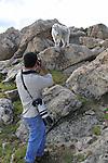 Wildlife photographer and mountain goat on Mount Evans (14250 feet), Rocky Mountains, west of Denver, Colorado. .  John leads private, wildlife photo tours throughout Colorado. Year-round. .  John leads private photo tours in Boulder and throughout Colorado. Year-round.