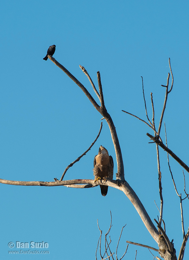 A Peregrine Falcon, Falco peregrinus, is watched by a  Brewer's Blackbird, Euphagus cyanocephalus, as it perches in a tree at Sacramento National Wildlife Refuge, California