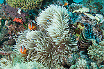 Bligh Waters, Vatu I Ra Passage, Fiji; several Red and Black Anemonefish and juvenile Three-spot Dascyllus fish swimming amongst a large anemone situated next to a giant clam on the reef
