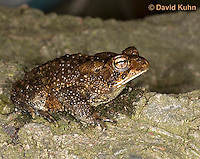0304-0916  American Toad, © David Kuhn/Dwight Kuhn Photography, Anaxyrus americanus, formerly Bufo americanus