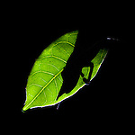 Silhouette of male Lance-nosed Chameleon (Calumma gallus) asleep at night. Vohimanana Forest Reserve, eastern Madagascar.