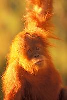 Young  Sumatran Orangutan (Pongo pygmaeus)