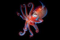 bobtail squid, Sepietta oweniana, Stamnes, Vaksdal, Hordaland, Norway, North Atlantic Ocean