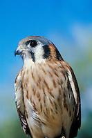 American Kestrel (Falco sparverius)