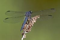 Slaty Skimmer (Libellula incesta) Dragonfly - Male, Ward Pound Ridge Reservation, Cross River, Westchester County, New York