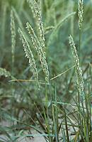 Strandroggen, Strand-Roggen, Leymus arenarius, Elymus arenarius, sand ryegrass, sea lyme grass, lyme grass