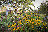 Gardener watering herbalist garden with yellow flower - Rudbeckia triloba (browneyed Susan)