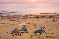 flatback sea turtle hatchlings, Natator depressus, endemic to Australian continental shelf, crawl down nesting beach to ocean at sunset, Torres Strait, Queensland, Australia (cr)