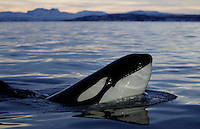 Curious killer whale calf mirror reflected on sea surface. Tysfjord, Artic Norway